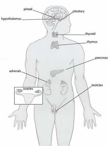 excerpt_endocrinesystem