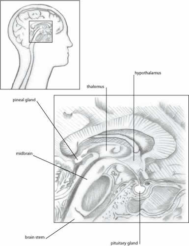 Pineal, Pituitary, and Hypothalamus Glands